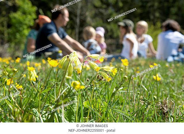 Flowering cowslip