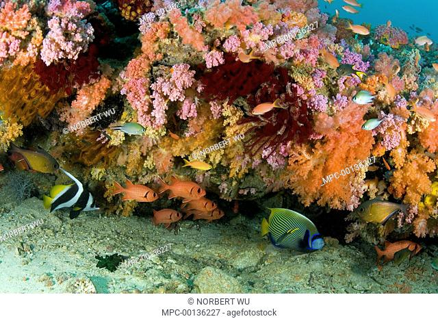 Common Squirrelfish (Holocentrus adscensionis) Pennant Bannerfish (Heniochus chrysostomus) and Emperor Angelfish (Pomacanthus imperator) near soft coral ledge