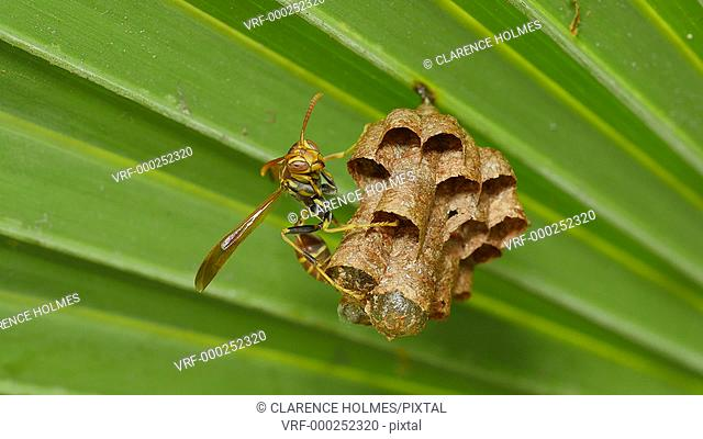 A Paper Wasp (Polistes exclamans) guards larvae and pupae in the chambers of its nest hanging from a Saw Palmetto frond