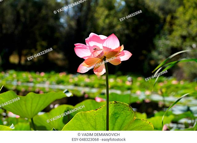 Lotus flower in a small reservoir in the territory of the Volgograd region