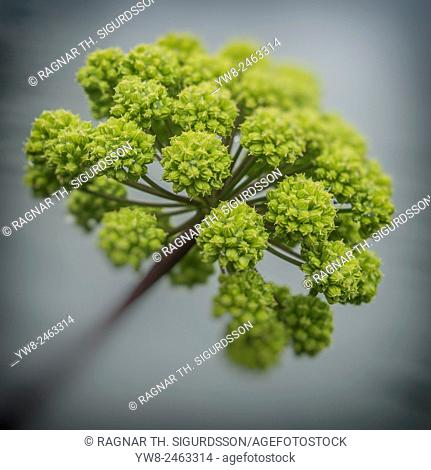 Angelica herb flowers in the summer, Iceland. Angelica is used extensively in herbal medicine