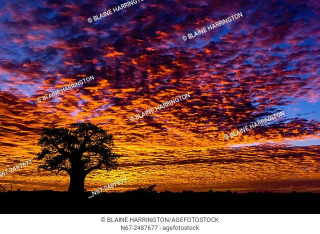 A baobab tree silhouetted against a fiery sunrise, Nxai Pan National Park, Botswana