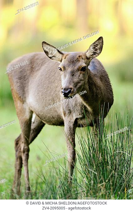 Close-up of a red deer (Cervus elaphus) cow on a meadow