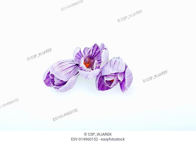 Close-up of blue and white crocus flowers isolated on white