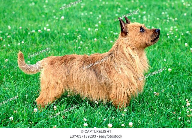 The portrait of Australian Terrier on the spring meadow