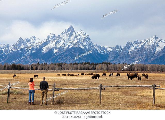 Buffalos, Grand Teton National Park, Wyoming, USA