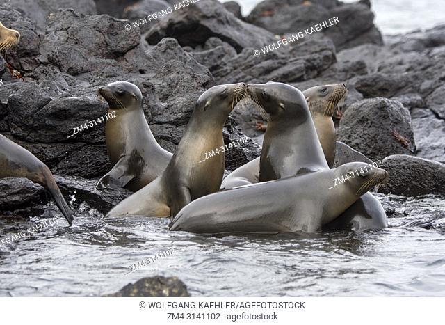 Galapagos sea lions (Zalophus wollebaeki) on rocks on Santa Fe Island (Barrington Island) in the Galapagos National Park, Galapagos Islands, Ecuador