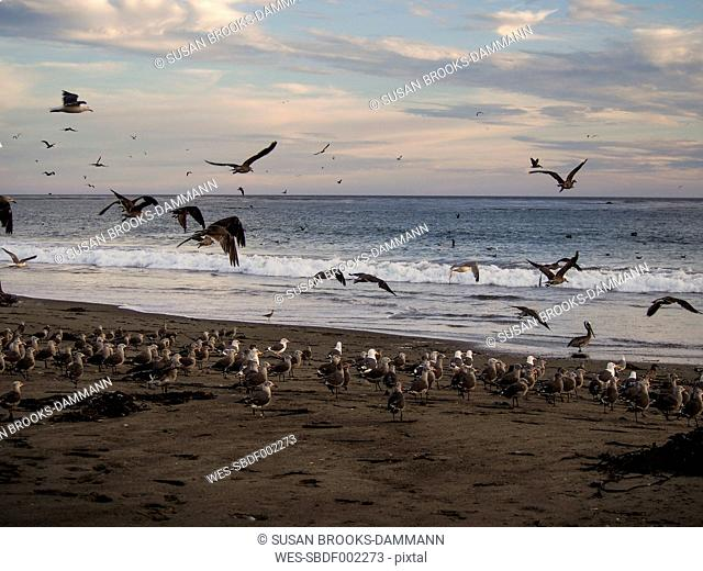 USA, California, Pismo beach, flock of sea gulls in sunset