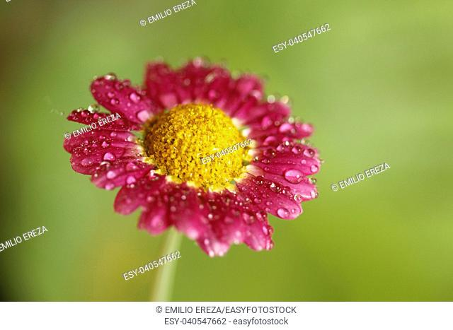Daisy flower with droplets. Chrysanthemum sp