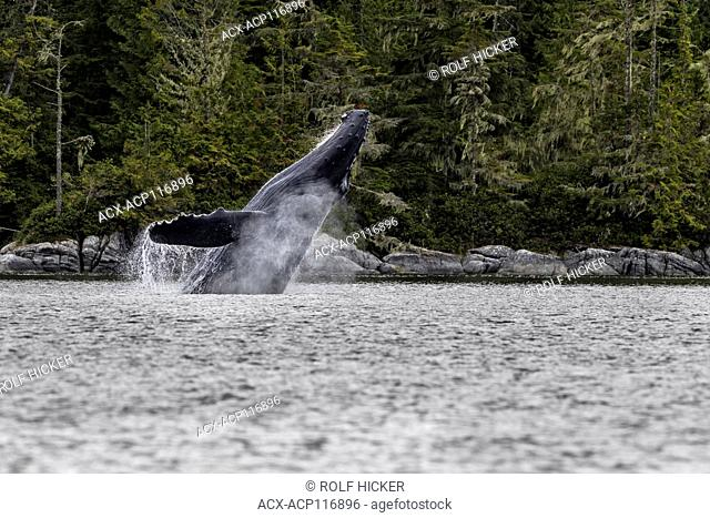 Humpback whale breaching off northern Vancouver Island, British Columbia, Canada