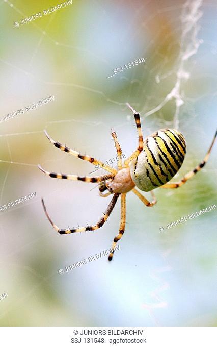 wasp spider - in cobweb / Argiope bruennichi