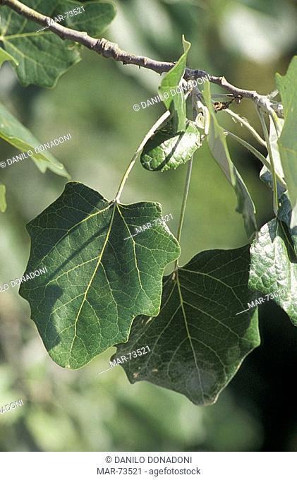 white poplar, turin, italy