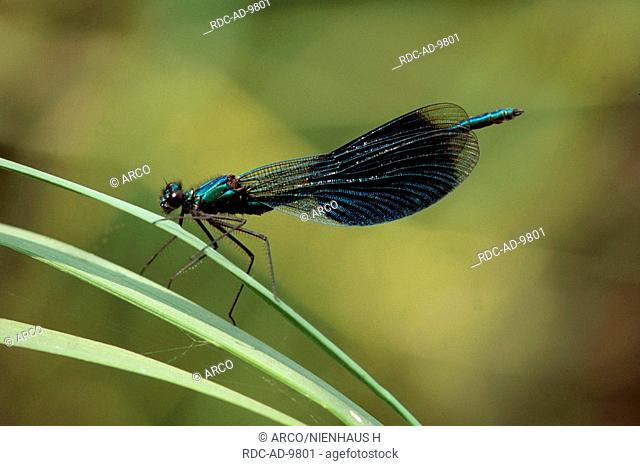 Banded Blackwings, Germany, Calopteryx splendens, Agrion splendens, side