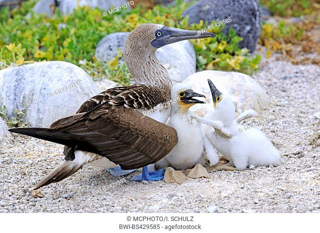 blue-footed booby (Sula nebouxii), with two chick, Ecuador, Galapagos Islands, Lobos