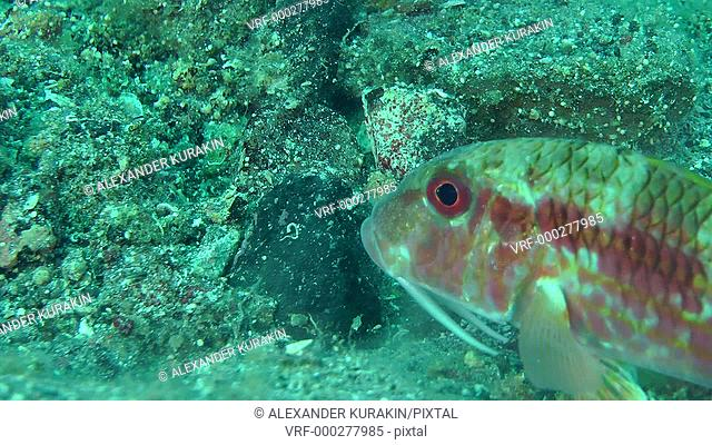 Marine fish Red mullet digs the sandy bottom in search of food, close-up