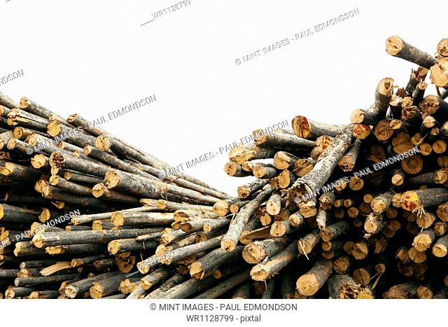 A stack of cut timber logs, Lodge Pole pine trees at a lumber mill