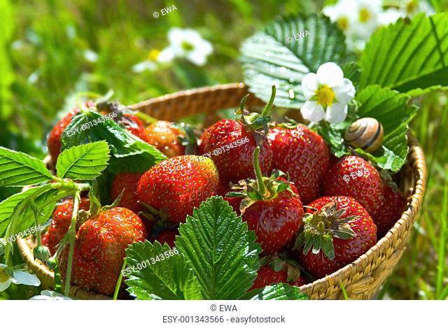 fresh strawberry basket in the garden