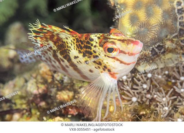 Dwarf hawkfish, Cirrhitichthys falco, Anilao, Batangas, Philippines, Pacific