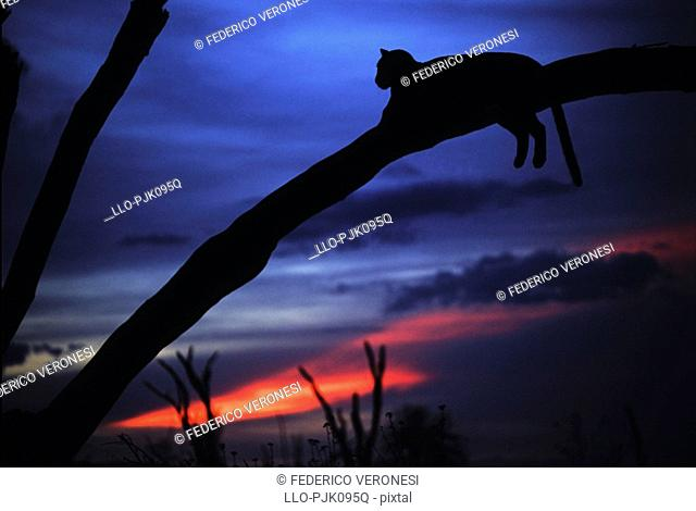 Silhouette of a Leopard Panthera pardus resting in a tree after sunset, Buffalo Springs, Isiolo District, Kenya, Africa