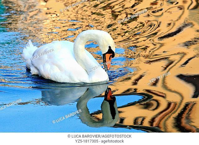 Swan swimming in Naviglio - Milan Italy