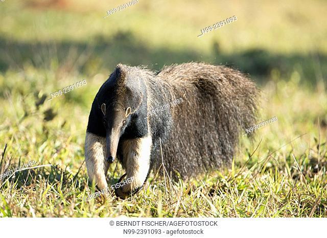 Giant anteater (Myrmecophaga tridactyla), walking through bush and grassland, Mato Grosso do Sul, Brazil