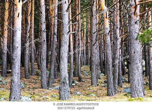 Pinewood in the Sierra de Guadarrama Miraflores de la Sierra Madrid Spain