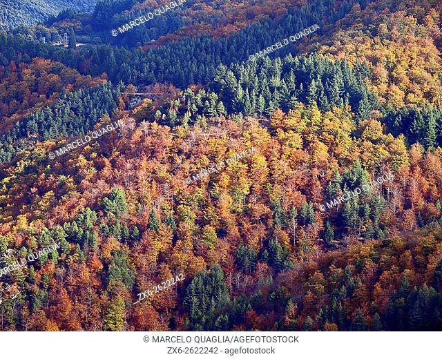 European silver fir forest (Abies alba) and autumn beech forest (Fagus sylvatica). Montseny Natural Park. Barcelona province, Catalonia, Spain