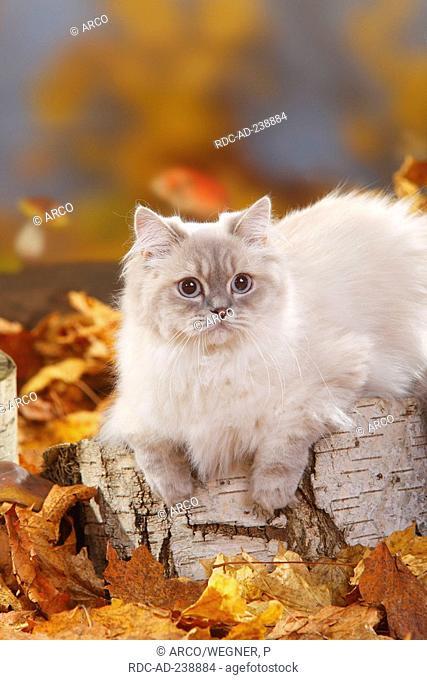 British Longhair Cat, blue-silver-tabby-point / Highlander, Lowlander, Britanica, autumn foliage