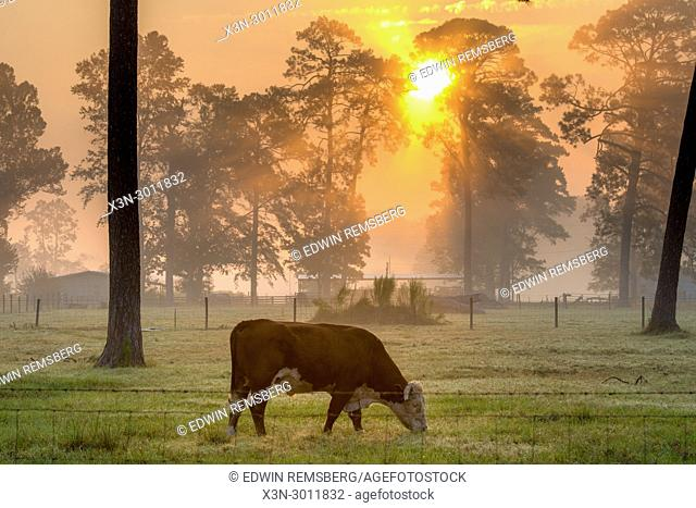 Steer eating grass in foggy field as the early morning sun radiates out from behind a line of tall trees, Tifton, Georgia. USA