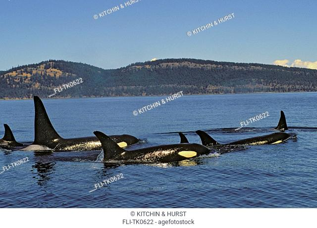 Orca,Killer Whale Pod Haro Strait between British Columbia & Washington Summer Orcinus orca