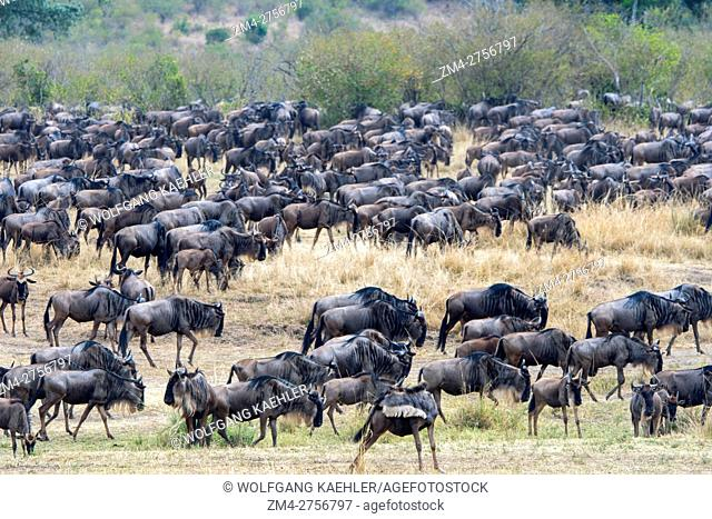 Wildebeests, also called gnus or wildebai, migrating through the grasslands towards the Mara River in the Masai Mara National Reserve in Kenya