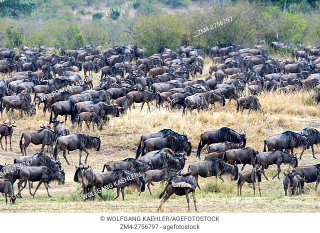 Wildebeests, also called gnus or wildebai, migrating through the grasslands towards the Mara River in the Masai Mara National Reserve in Kenya