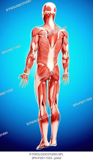 Human musculature, computer artwork