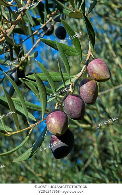 Olive tree, Jaen province, Region of Andalusia, Spain, Europe