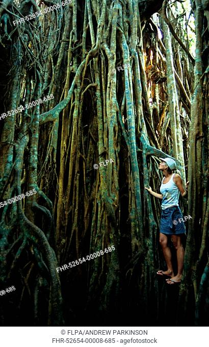 Curtain Fig Ficus virens tourist exploring 'Cathedral Fig', Atherton Tablelands, Queensland, Australia