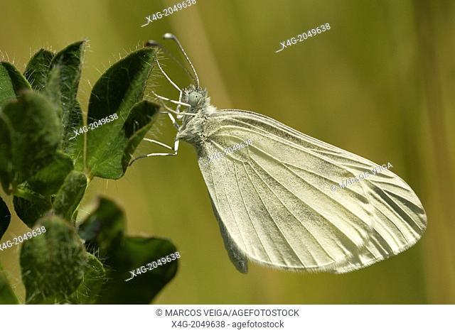 Wood White Butterfly Leptidea sinapis. Spain