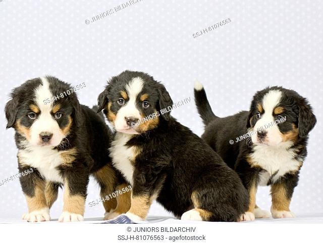 Bernese Mountain Dog. Three puppies (5 weeks old) standing and sitting next to each other. Studio picture. Germany