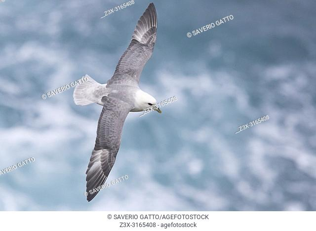 Northern Fulmar (Fulmarus glacialis auduboni), adult in flight