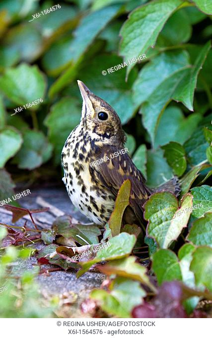 Song Thrush Turdus philomelos, fledgeling on ground in camoflouge posture, Lower Saxony, Germany