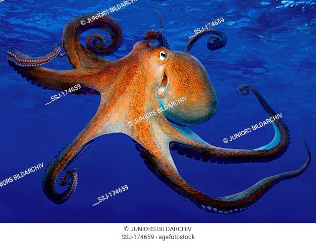 Common Octopus (Octopus vulgaris), swimming