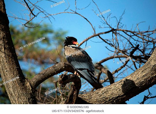 Serengeti National Park. The Bateleur (Terathopius ecaudatus. Tanzania