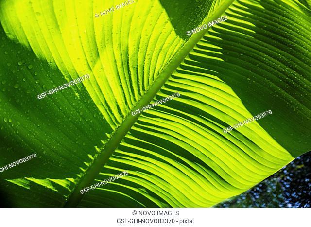 Sunlit Banana Leaves, Close-Up