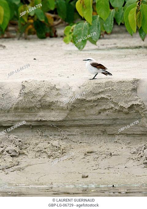 Bird, Laundress-masquerade, Ilha do Mel, Encantadas, Paraná, Brazil