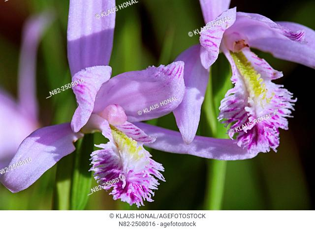 Rose Pogonia Pogonia ophioglossoides in bloom. The Pogonie belongs to the orchid family - Endemic in eastern North America.