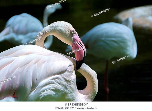 pale pink Flamingo (Phoenicopterus ruber ruber)