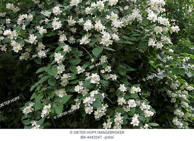 English dogwood or sweet mock-orange (Philadelphus coronarius) flowering shrub, Bavaria, Germany