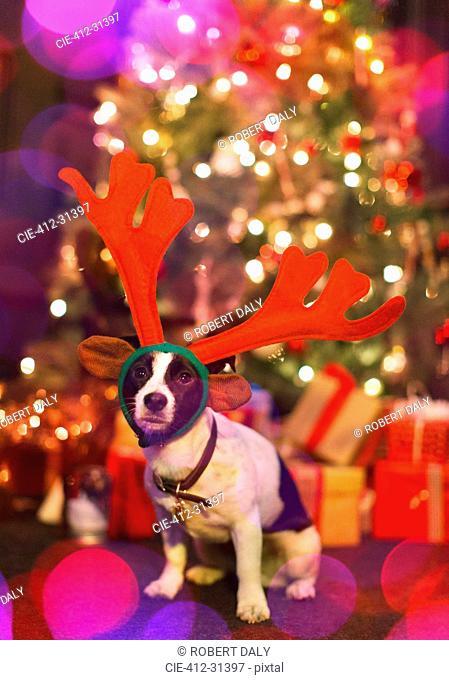 Portrait cute dog wearing reindeer antlers in front of Christmas tree