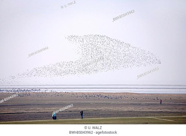 red knot (Calidris canutus), swarm over wadden sea, Germany, Schleswig-Holstein, Nationalpark Wattenmeer;
