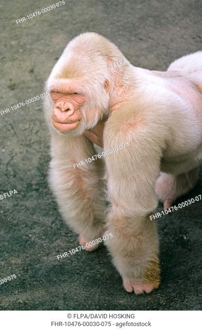 Western Lowland Gorilla Gorilla gorilla gorilla 'Snowflake', adult male, albino, Parc Zoologic de Barcelona