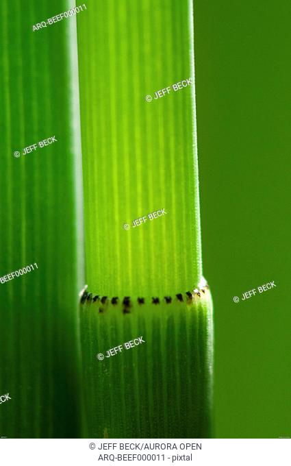 Detail of Horsetail (Equisetum hyemale) against a soft green background